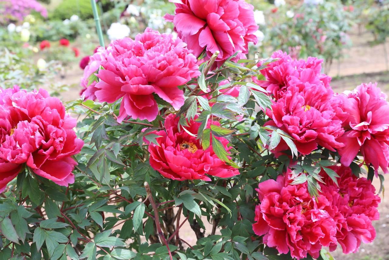 金蛇水神社の牡丹の花