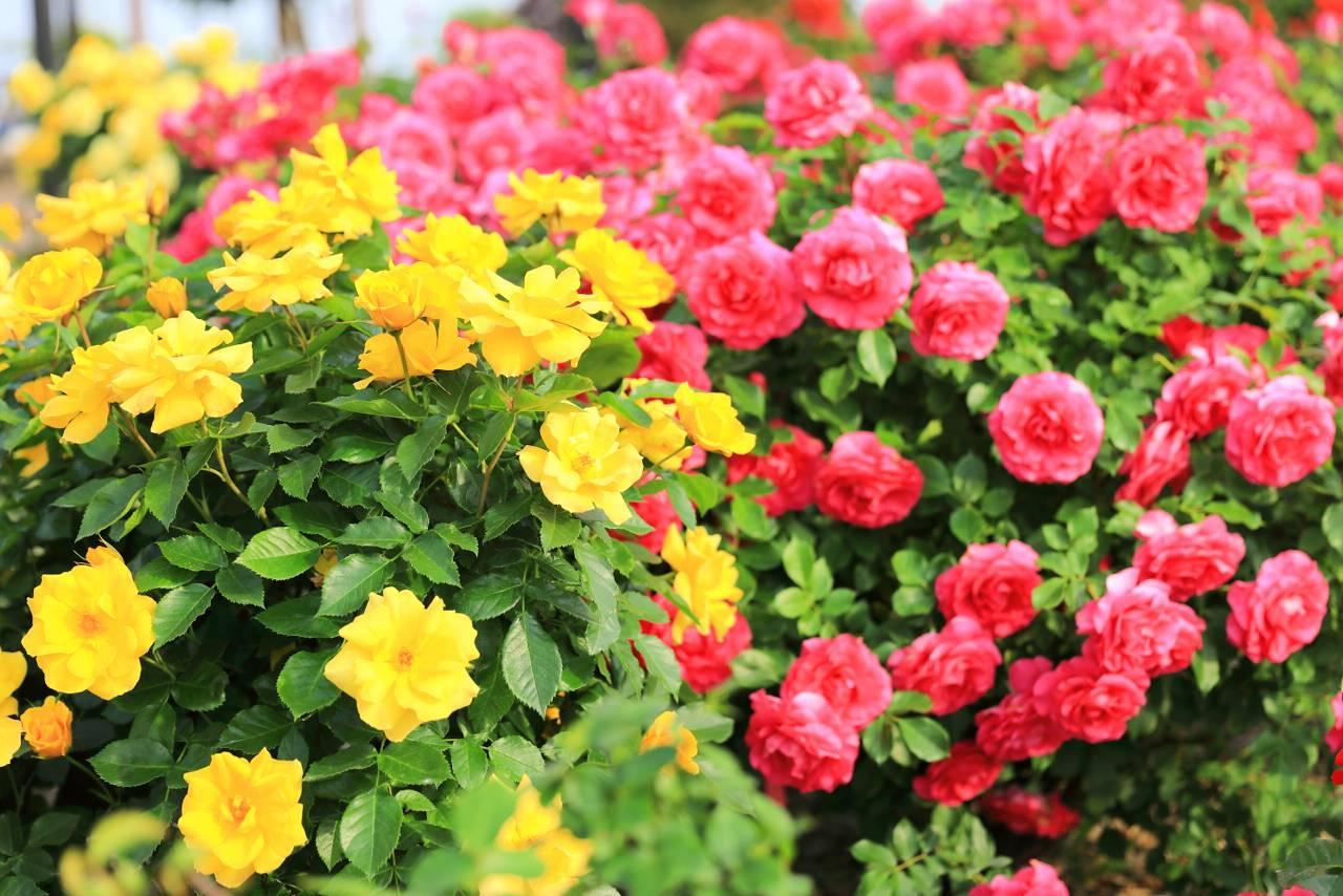 仙台農業園芸センター バラ祭り