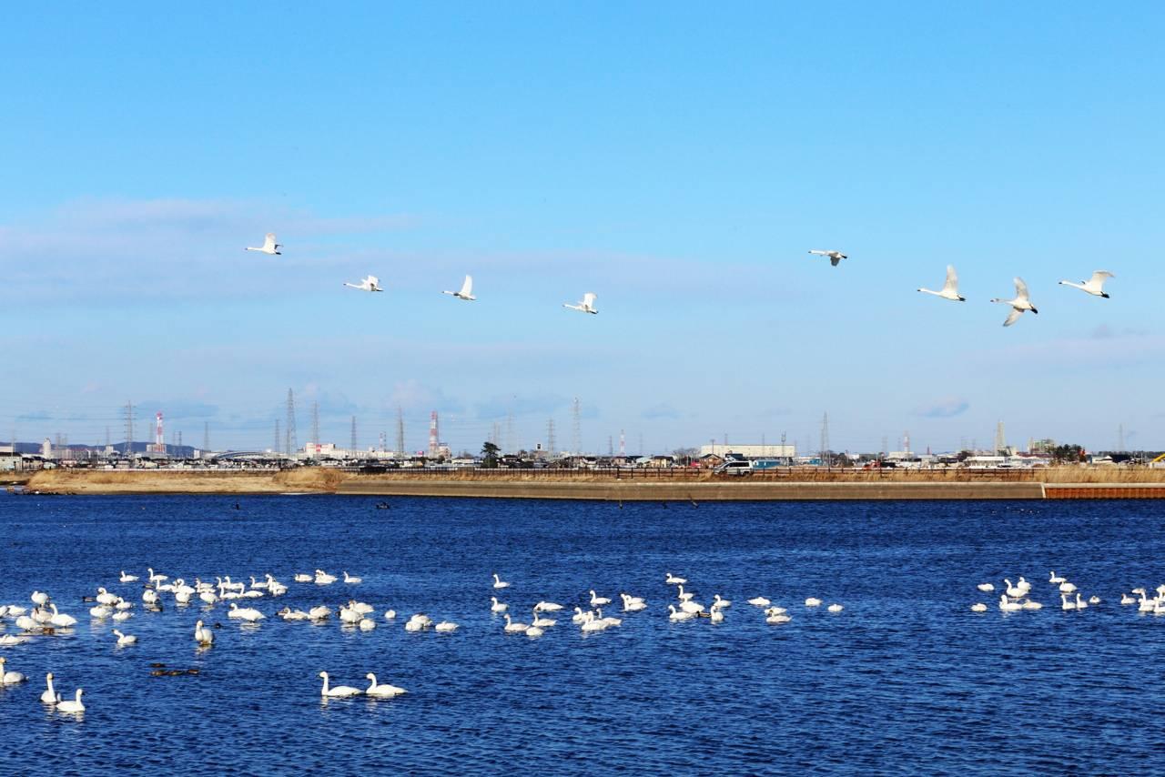 仙台市農業園芸センター脇の池に白鳥がいる