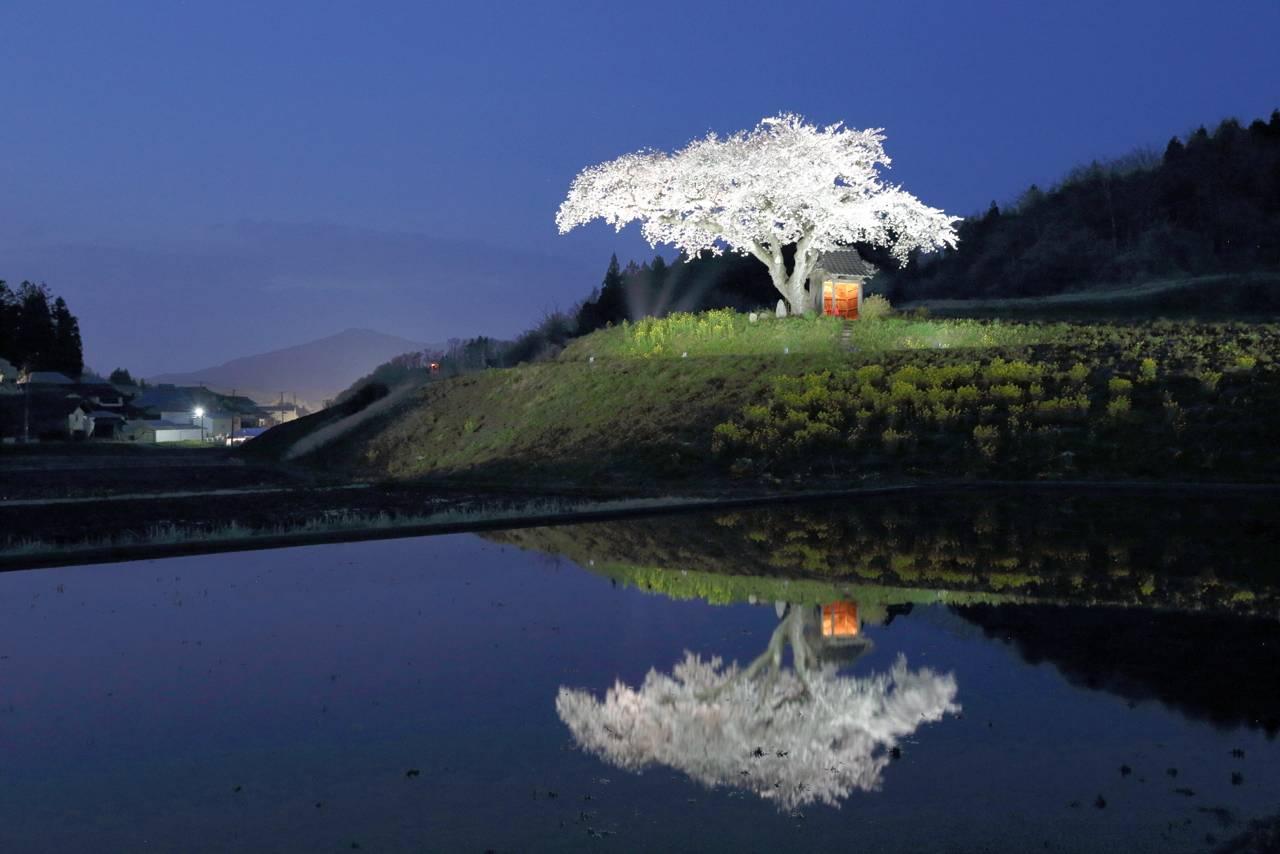 小沢の桜(ライトアップ)