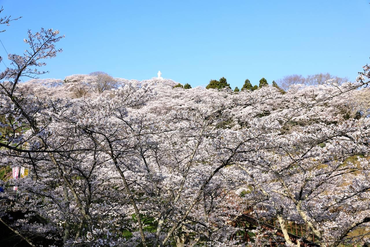 船岡城跡公園の桜