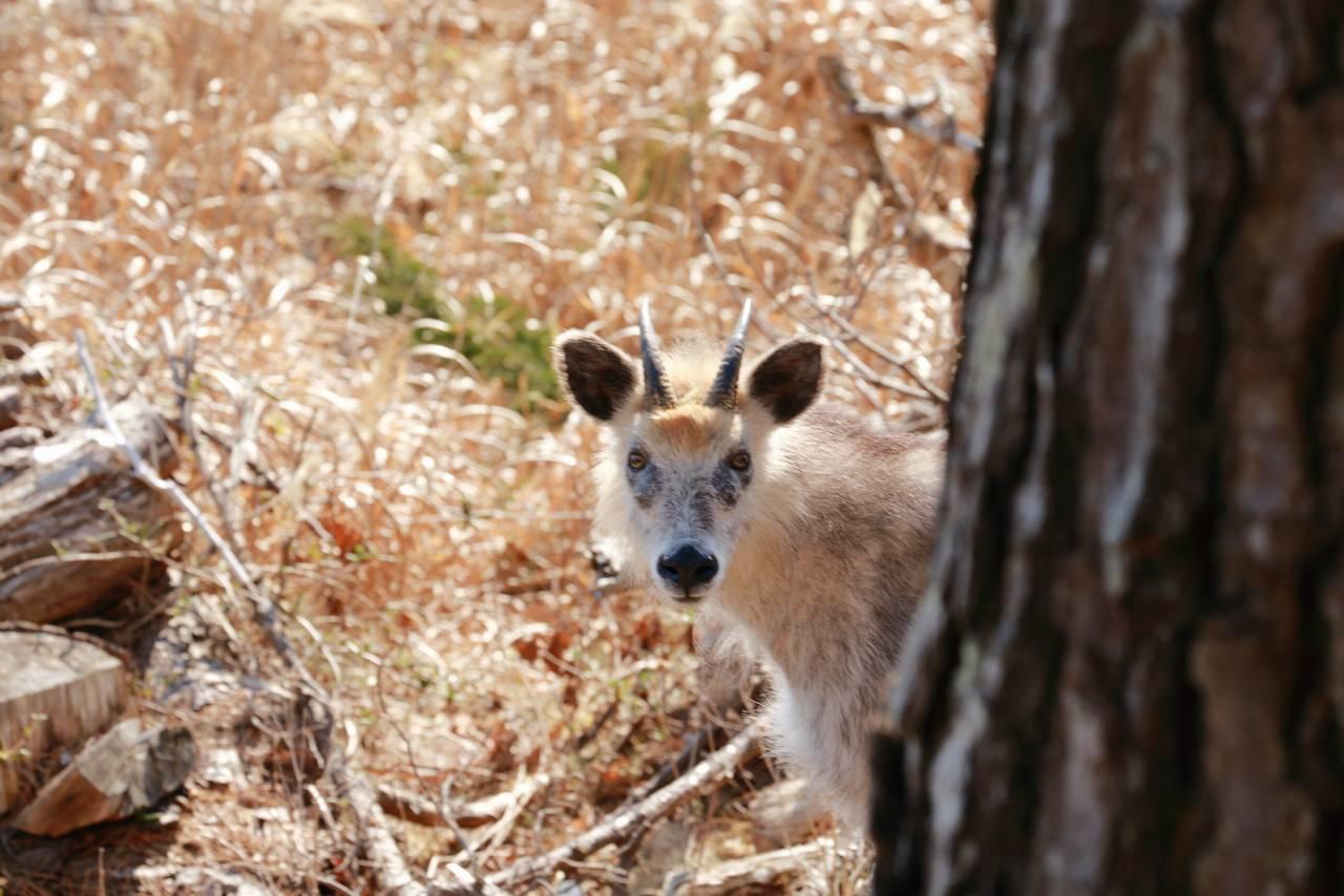唐桑半島、半造で見つめあった鹿