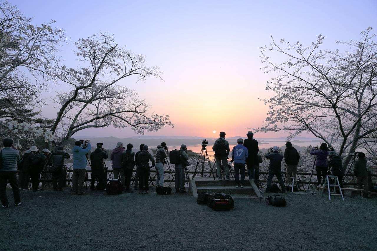 松島の朝日と桜(西行戻しの松公園)