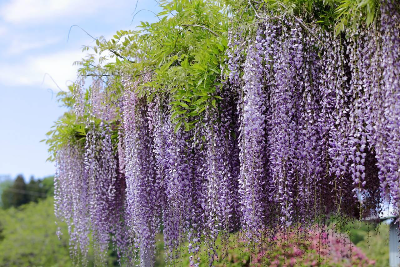 金蛇水神社の藤の花
