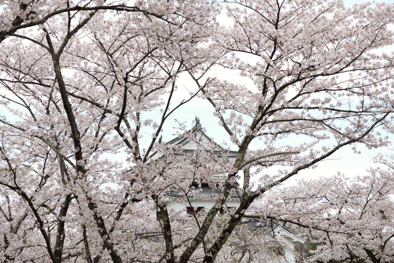 白石城の桜