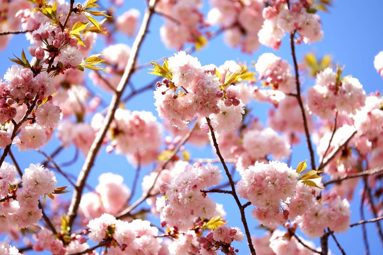 塩釜神社の塩釜桜