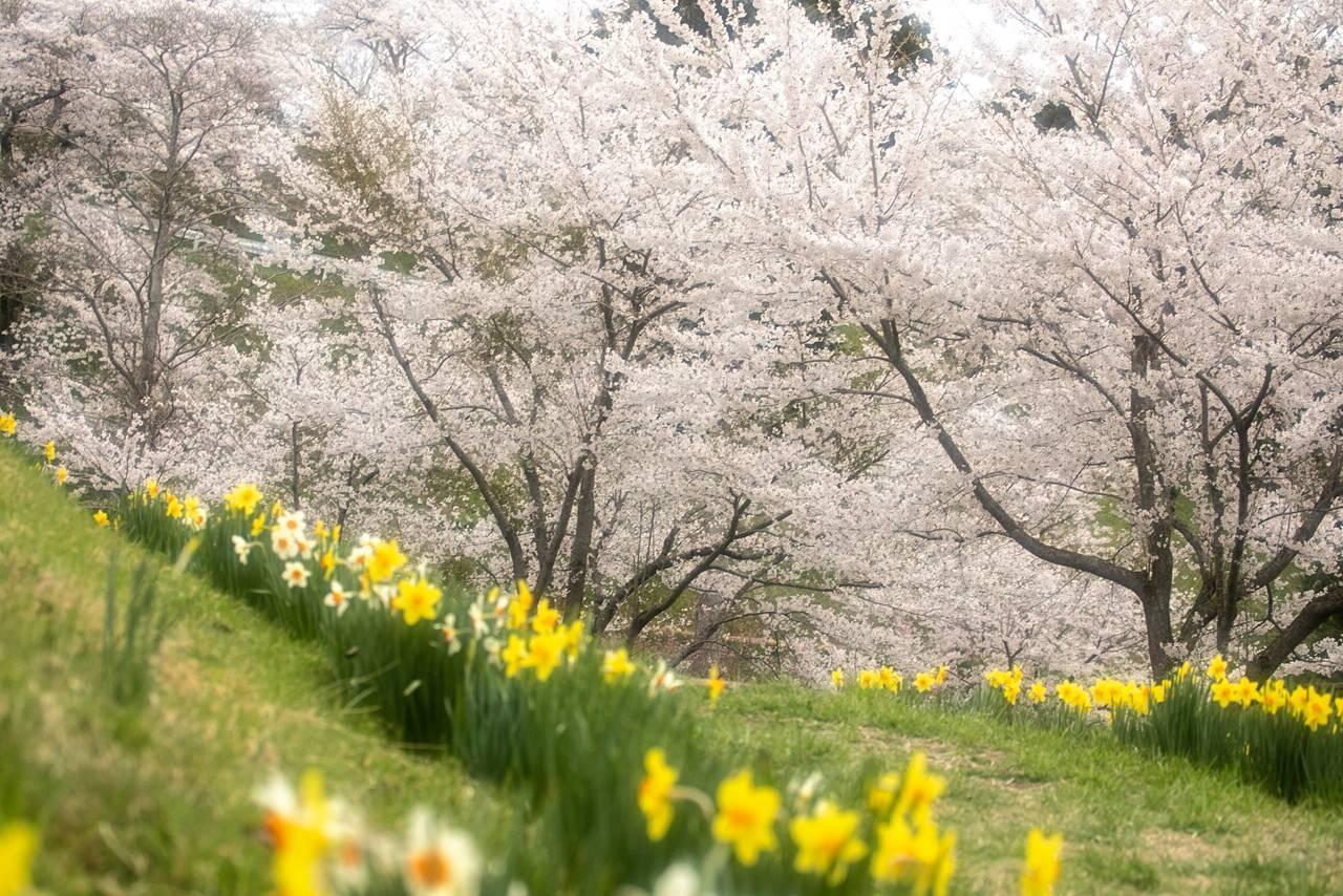 松山御本丸公園の桜(コスモス園)