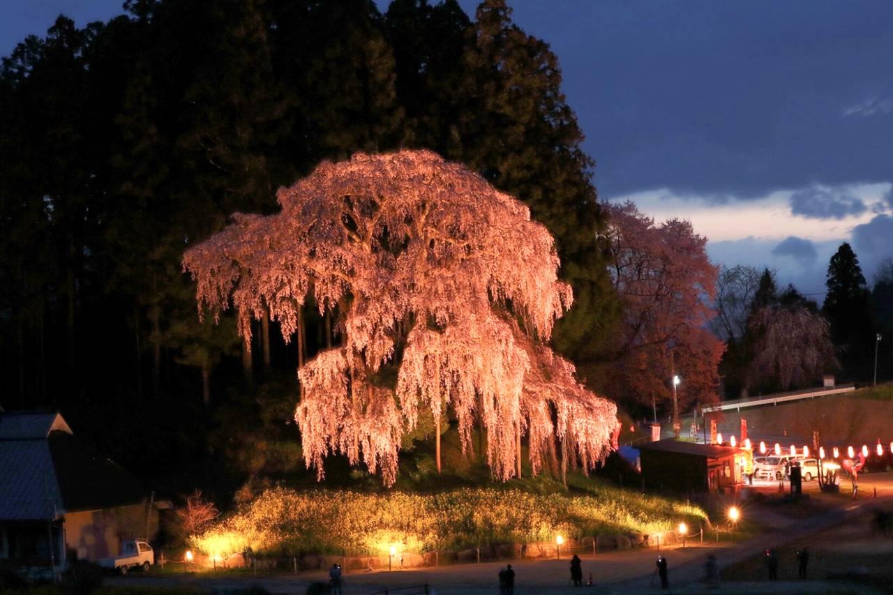 合戦場のしだれ桜(夫婦桜)