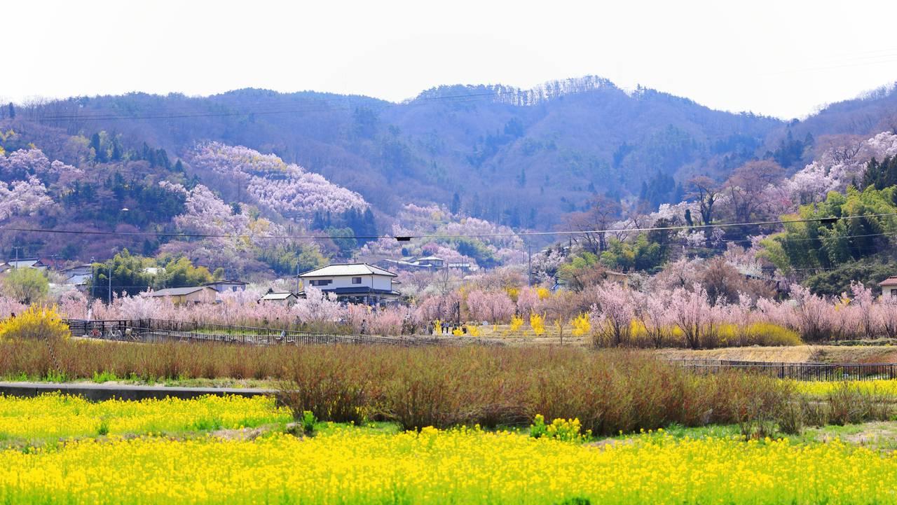 桃源郷の花見山公園