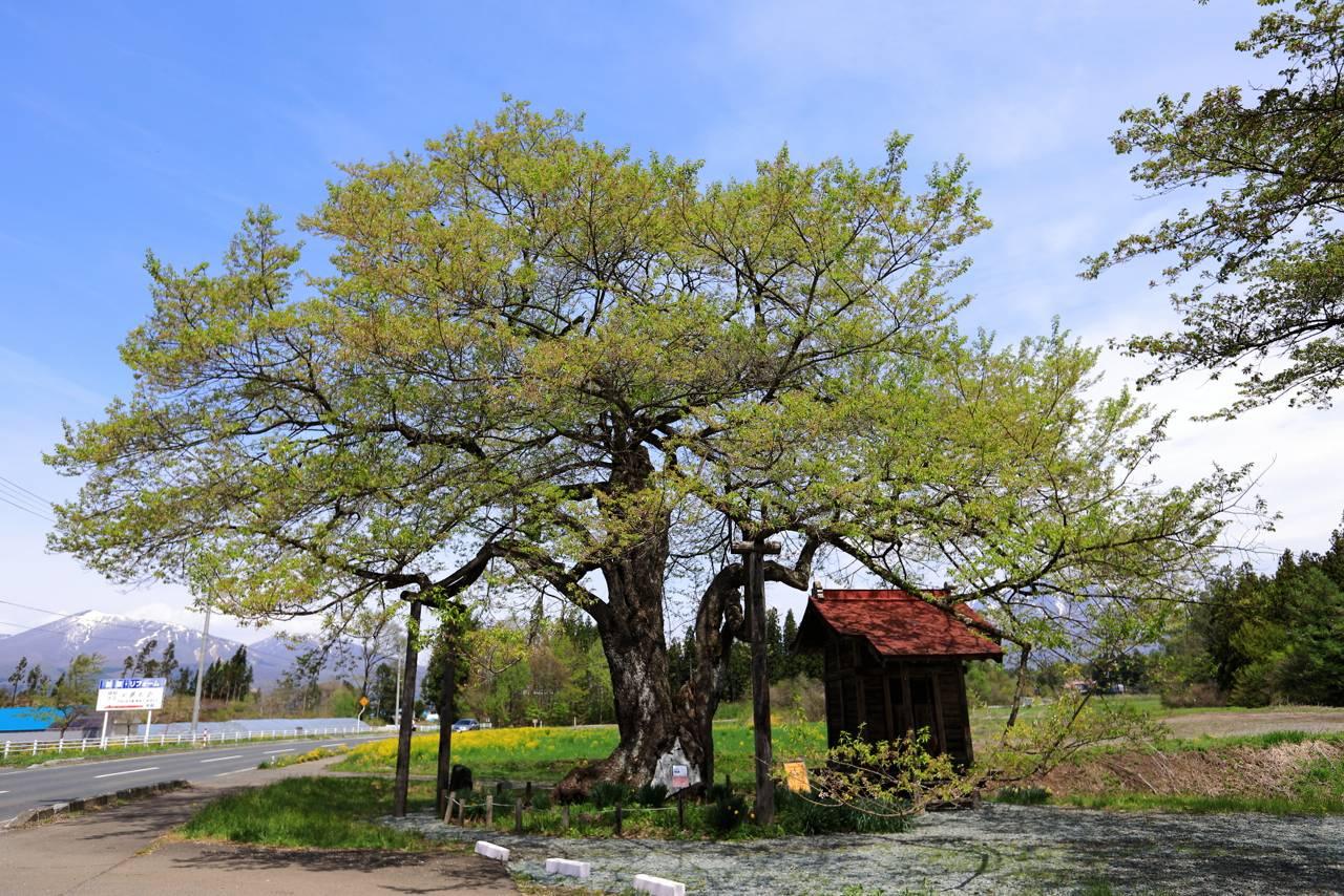 樹齢800年の弘法桜
