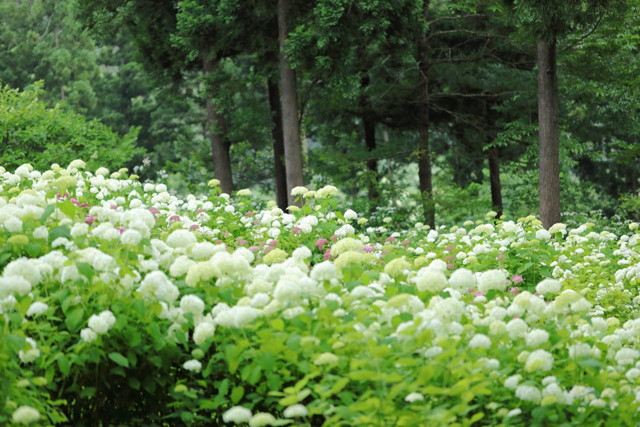 日本一のあじさい園