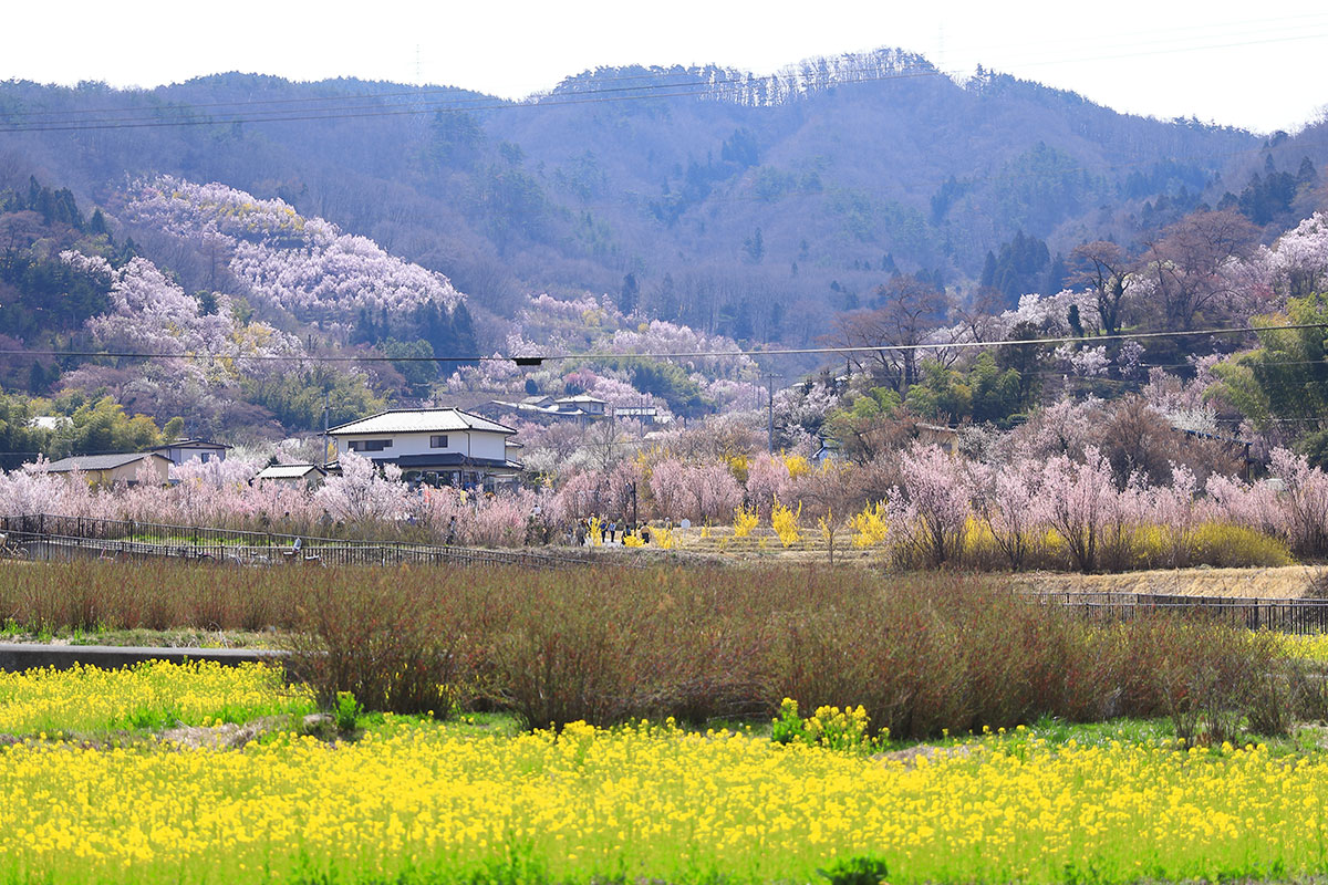 福島県福島市 桃源郷の花見山